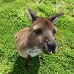 Kangaroo in need of orthodontic work :)