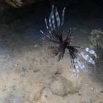 Many lionfish--pretty to look at, but a harmful species :(