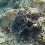Turtle on Gallows Reef