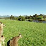 Kangaroos grazing.