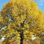 Tree in Letna