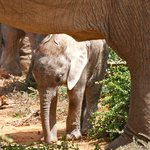 8 day old baby elephant