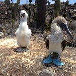 Blue footed boobies in Isabella Island, Galapagos