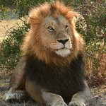 one of the two male lions