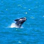 Whale watching at Hermanus