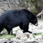 Schwarzbär am Mud Lake
