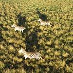 Zebras from balloon