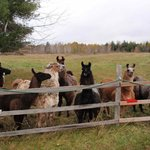 Some of the llamas