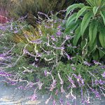 Mexican Bush Sage flourishes!