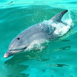 Port Phillip Bay dolphin