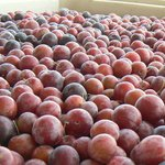 Local plums for Plum wine
