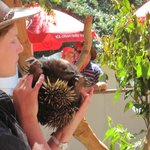 The echidna at the Furry Friends talk.