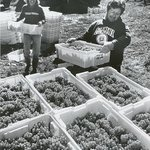 Carlson Vineyards harvest around 1988