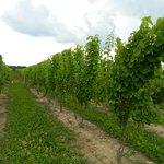 Looking down the vineyard