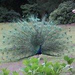 Cataract Gorge - Peacocks greet the visitors