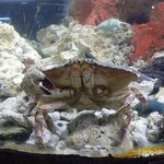 A few crabs in a tank, a typical sized individual