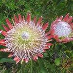 Glorious Proteas
