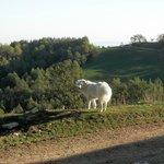 Leone... cane pastore