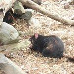 Real Tasmanian Devil