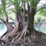 Algunos de los árboles que crecen dentro del lago.