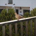 balcony collared dove