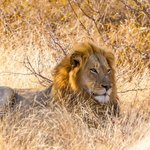 African Lion, young male resting, Motswari