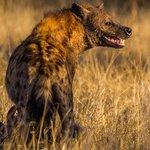 Spotted Hyena with buffalo kill, Motswari