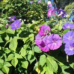 Our beautiful Morning Glories