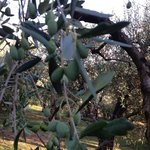 Olive tree in th grove