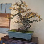 A bonsai on display for the Autumn bonsai exhibit