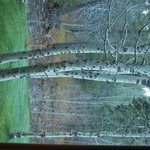Beautiful Aspens outside the window in the Golden Pond room