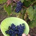 виноград сорта san giovese