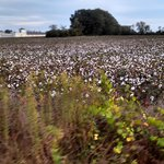 The cotton fields around back of the hotel were picturesque!
