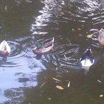 Anatre nel laghetto artificiale nel parco.