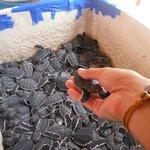 Lots of baby turtles