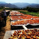 Abbey Inn features organic produce from Full Belly Farms - drying peaches, nectarines & apricots