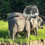 Pygmy Elephants having fun!