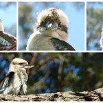 Laughing Kookaburras visit the Red Bower