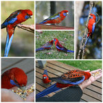 Friendly Rosellas visiting the Red Bower