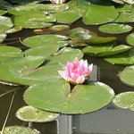 Lilly flower in the garden water feature/s