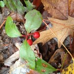 Fall walks in the woods yield tasty wintergreen berries.