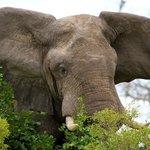 Elephant getting upset