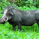 HUGE warthog