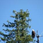 Eagles galore!