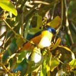 Blue-hooded Euphonia