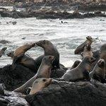 Seals kissing on Seal Rocks