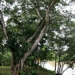 The beautiful Guanacosta Tree outside our door...