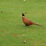 Resident Pheasant