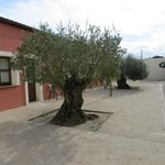 The courtyard with very old olive trees