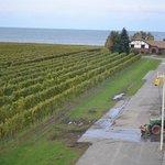 Vineyards and Lake Ontario from Rotunda